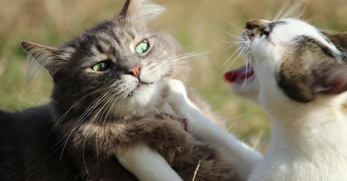 gatto che si scontrano