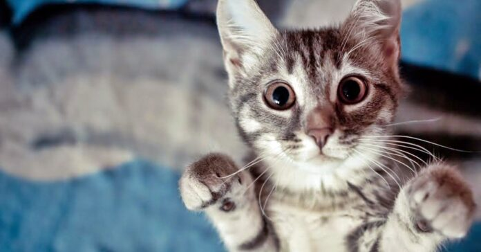 gattino che si alza su due zampe