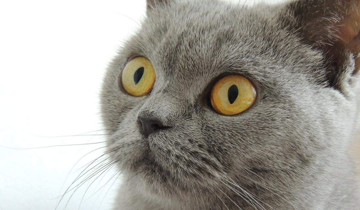 gatto persiano con il muso schiacciato