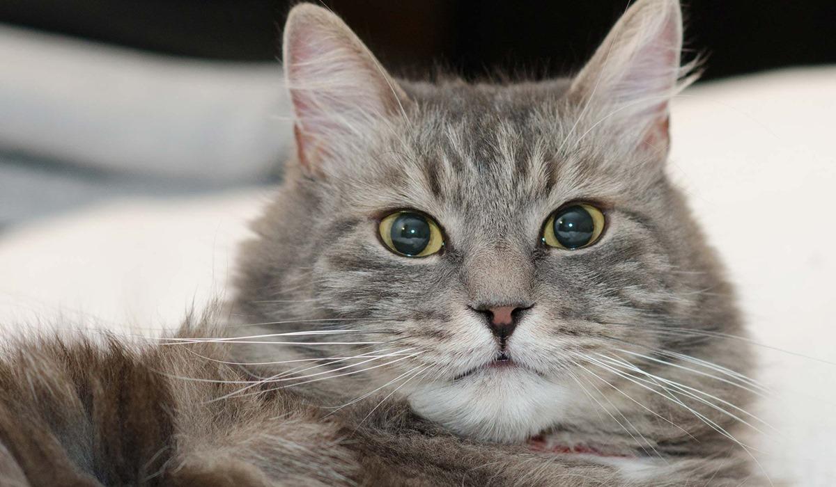 gatto adulto a pelo lungo