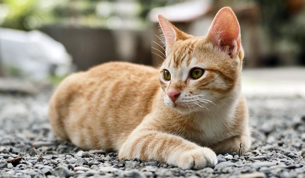 gatto arancione tigrato
