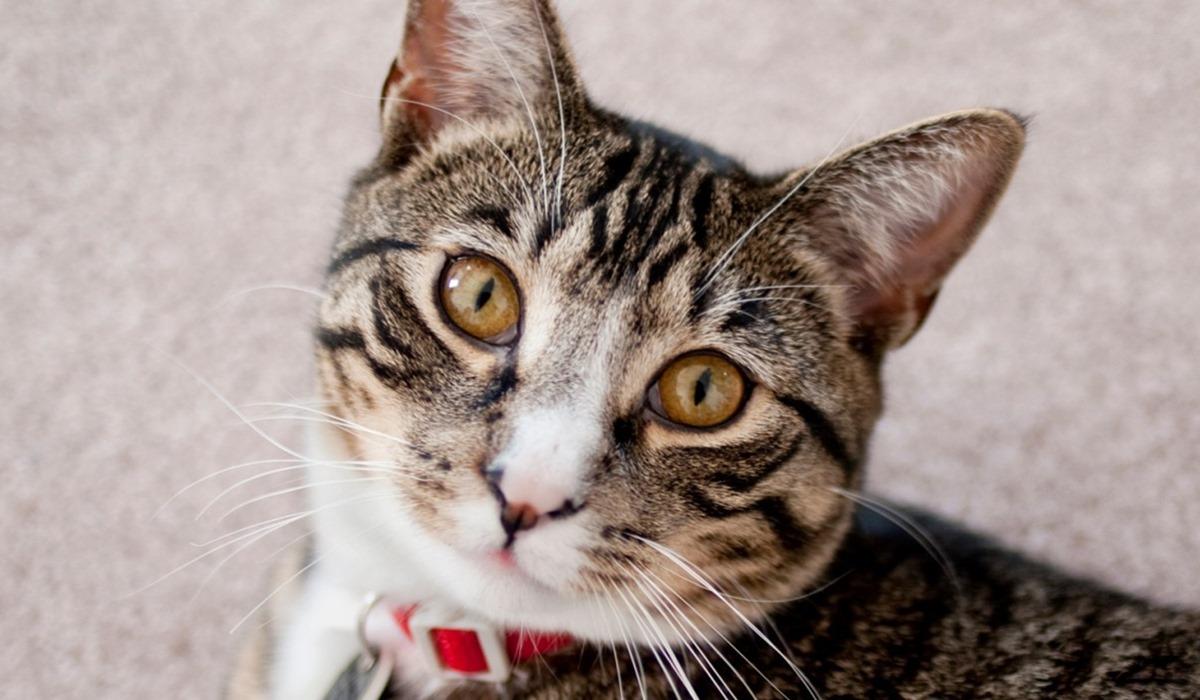 gatto con il collare rosso