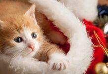 gattino dentro cappello natalizio