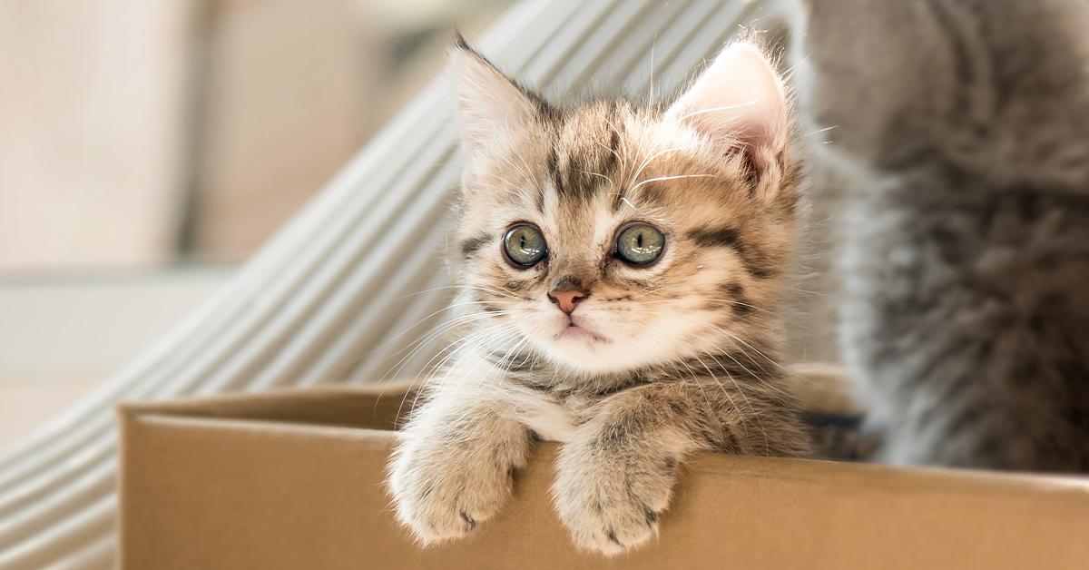 gattino in una scatola