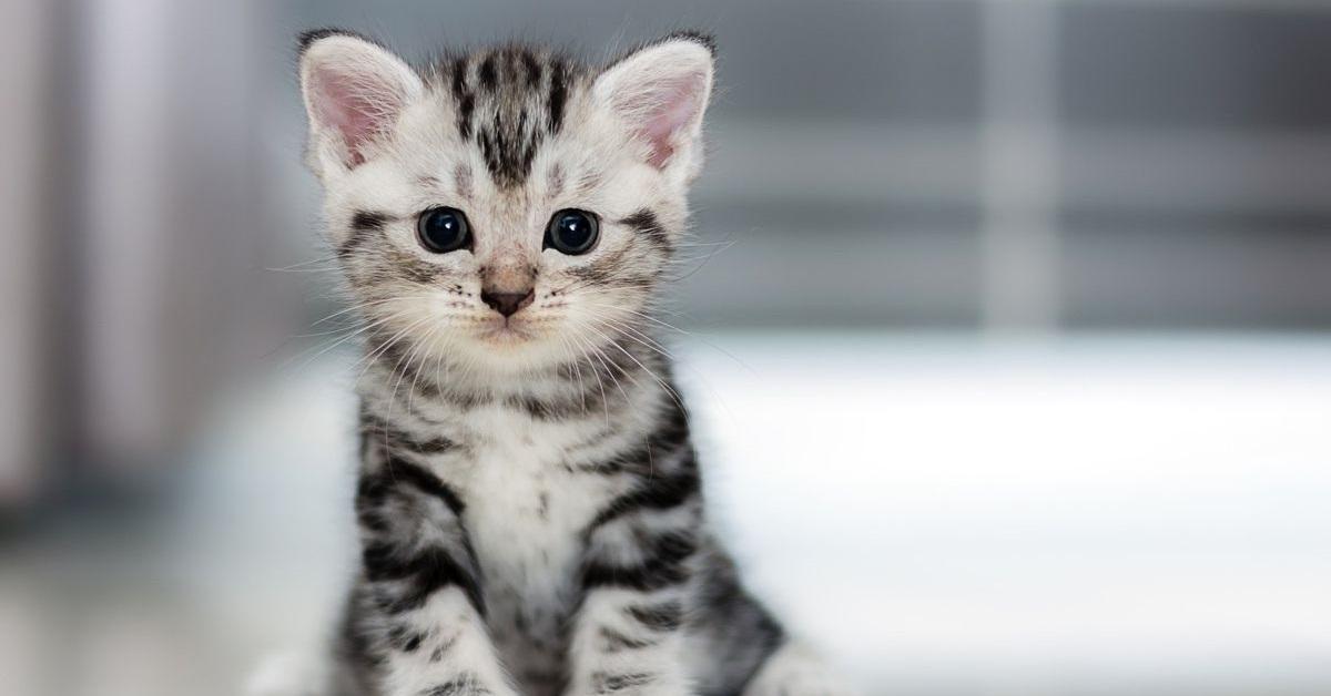 gattin tigrato