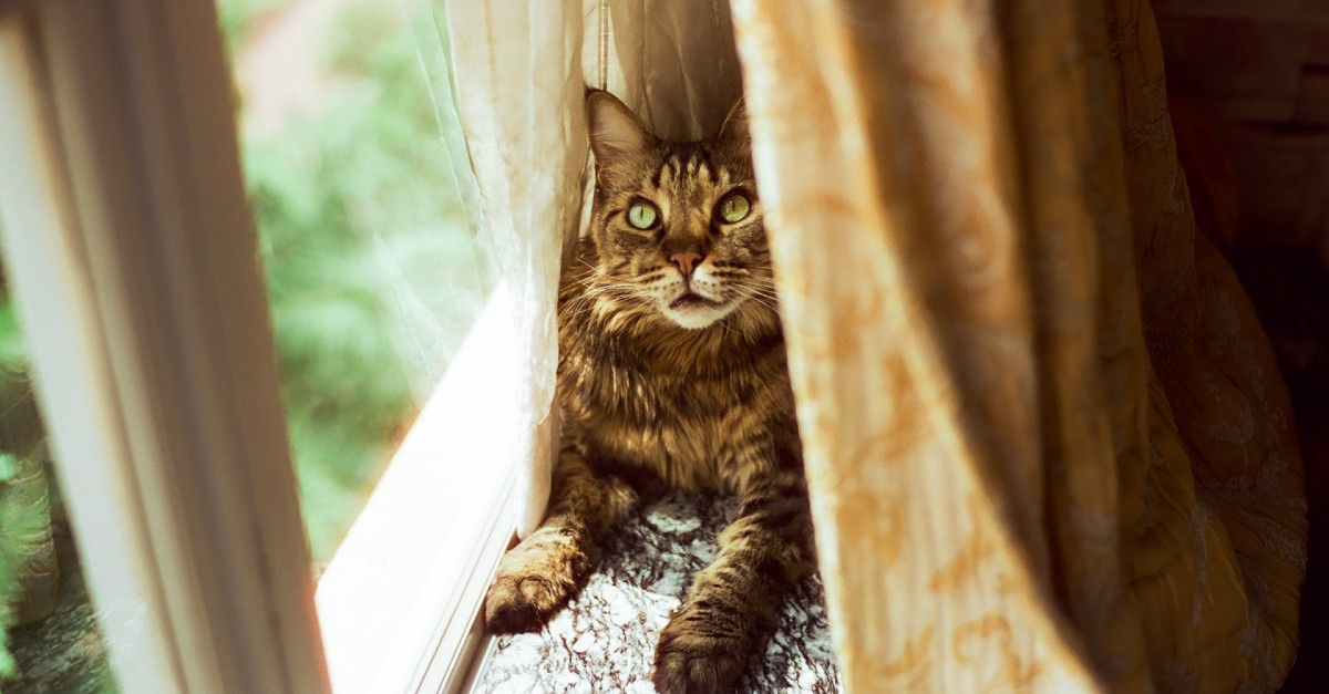 gattino Maine Coon