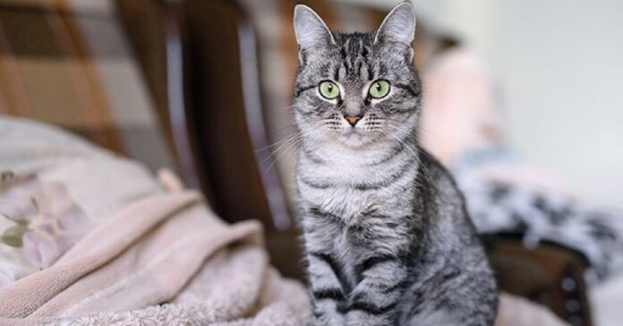 gattino american shorthair vuole tentare salto vita qualcosa video storto