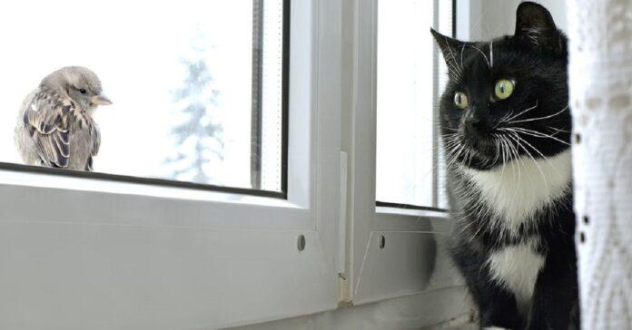 gattino burmese vuole fare amicizia con piccolo uccellino intenzioni ostacolate finestra
