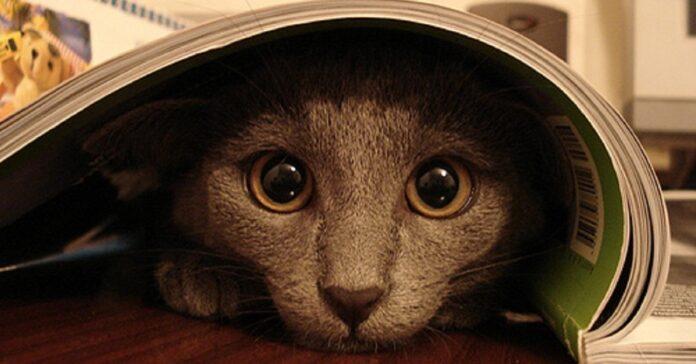 gattino celtico proprietario giocano nascondino video