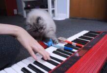 gattino che ha imparato a suonare il pianoforte