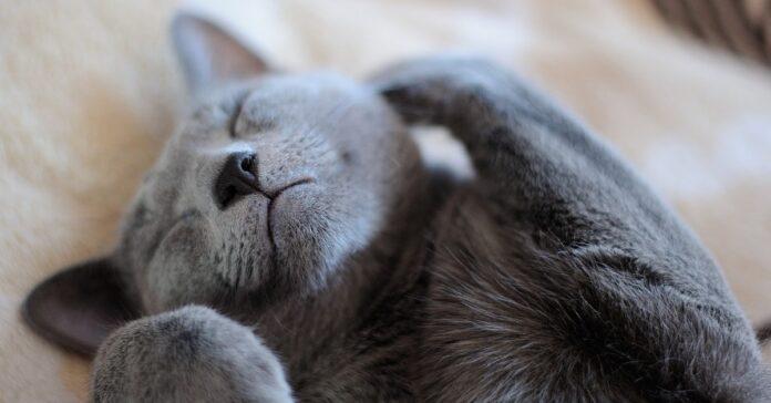 gattino che si addormenta mentre gioca
