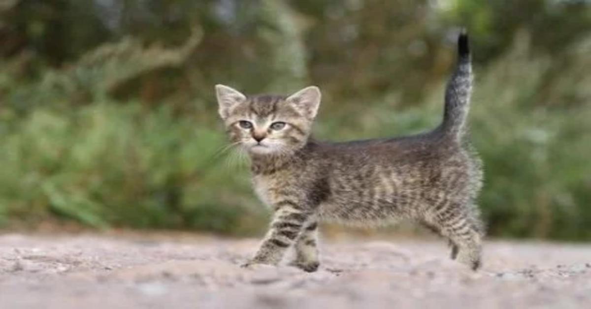 gattino coda alzata