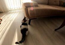 Gattino paralizzato torna a camminare