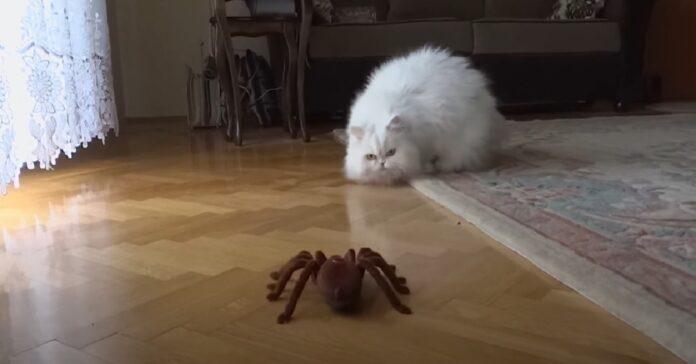 gattino ragno scontro