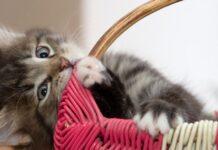 felino cucciolo gioca