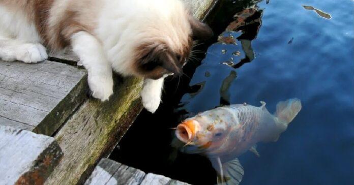 gattino ragdoll pesce