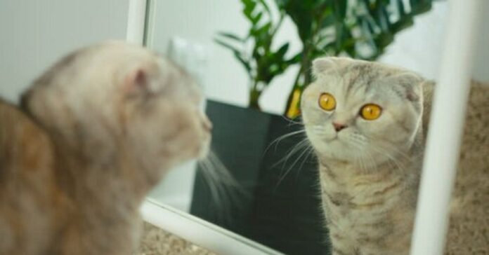 specchio scottish fold