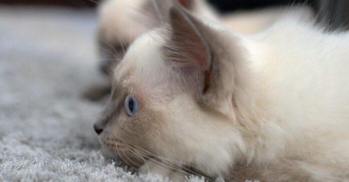 gattino iperattivo che tormenta la mamma