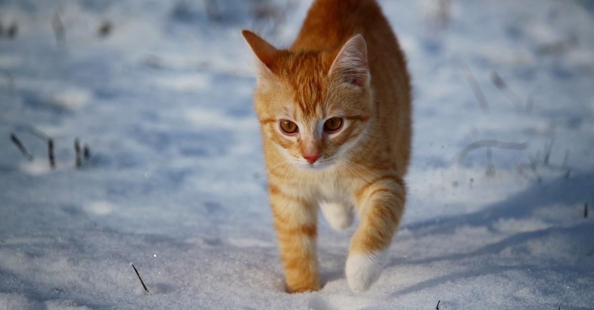 gattino siberiano a spasso nel parco