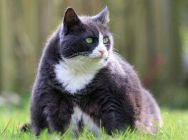 gatto obeso su un prato