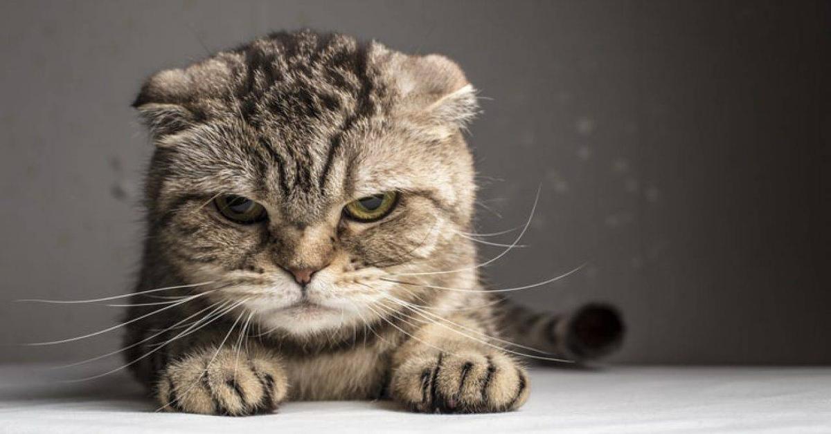 gatto scottish fold arrabbiato