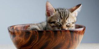 gatto dentro ciotola