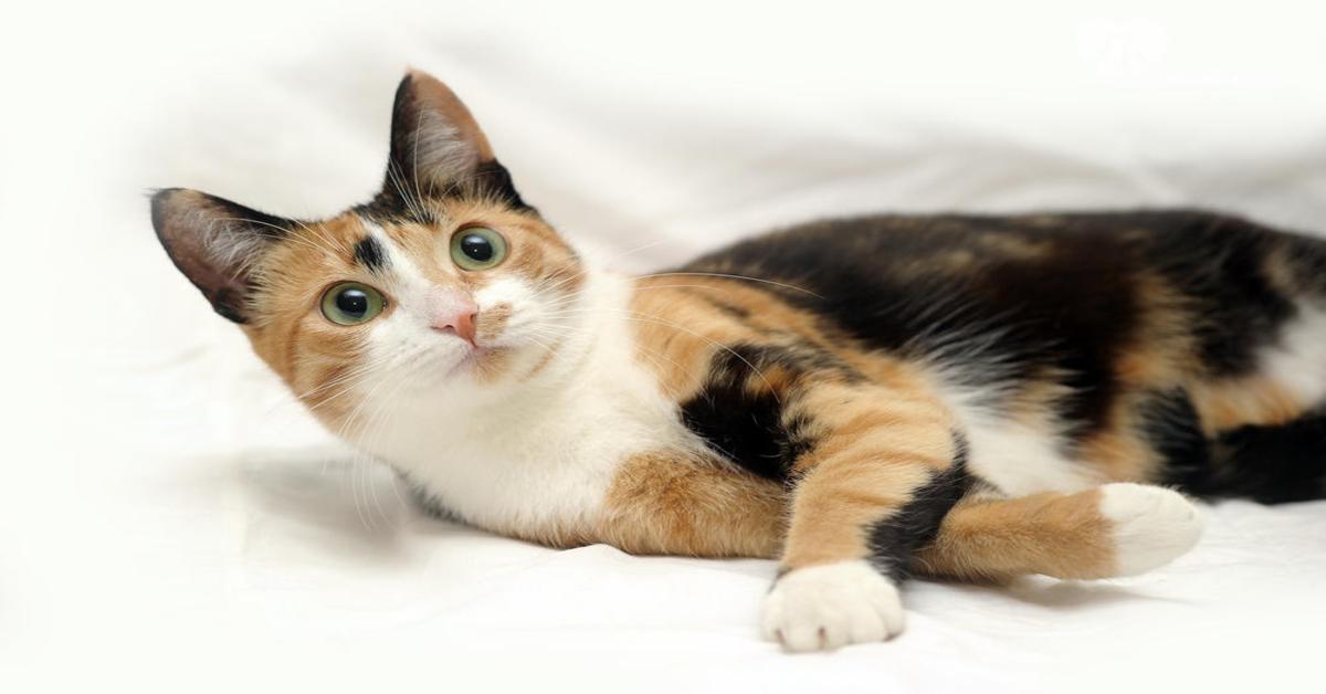Gattina tricolore sul letto