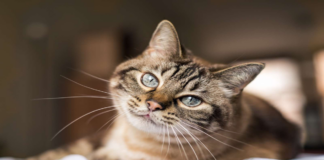 gatto grigio primo piano