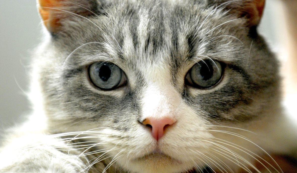 gatto con gli occhi grigi