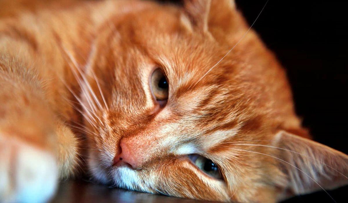 gatto arancione che sta male