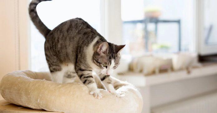 gatto impasta cuscino del divano