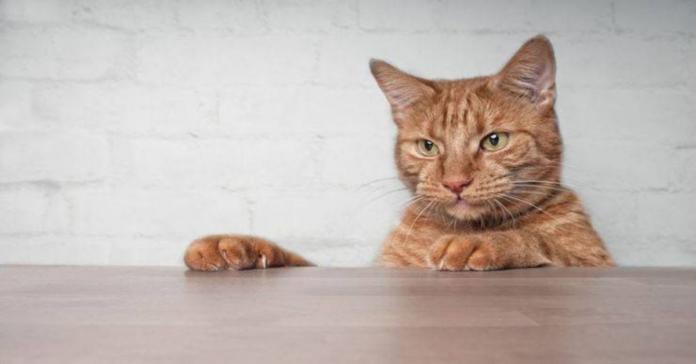 gatto rosso graffia tavolo