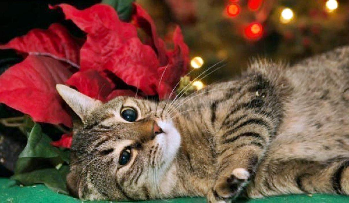 gatto che sta male dopo aver mangiato la stella di natale