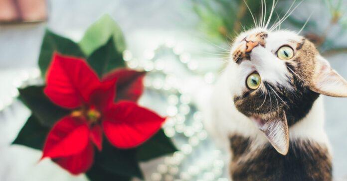 gatto con poinsettia