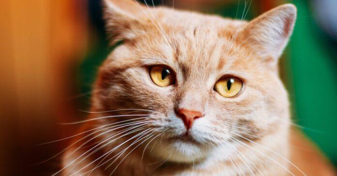 gatto arancione con gli occhi gialli