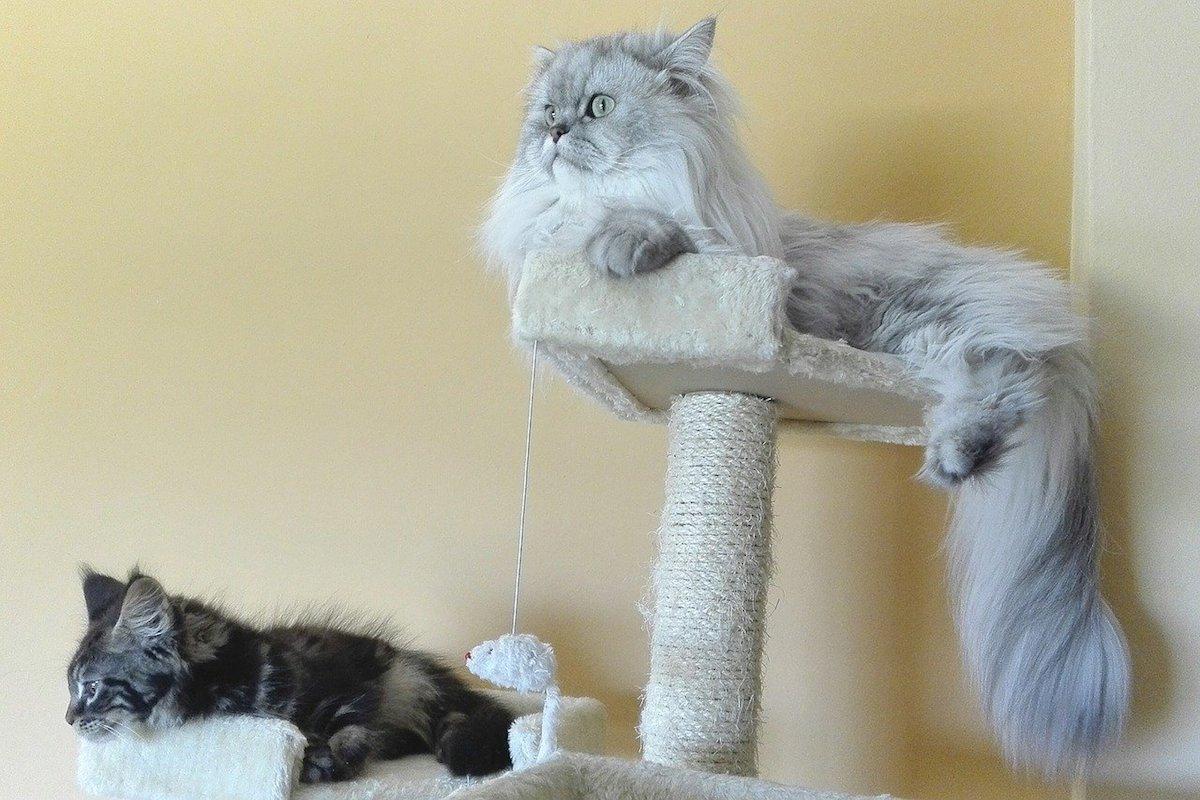 gatti persiani si rilassano