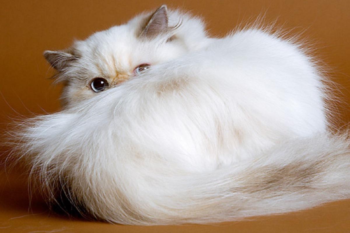 gatto himalayano bianco