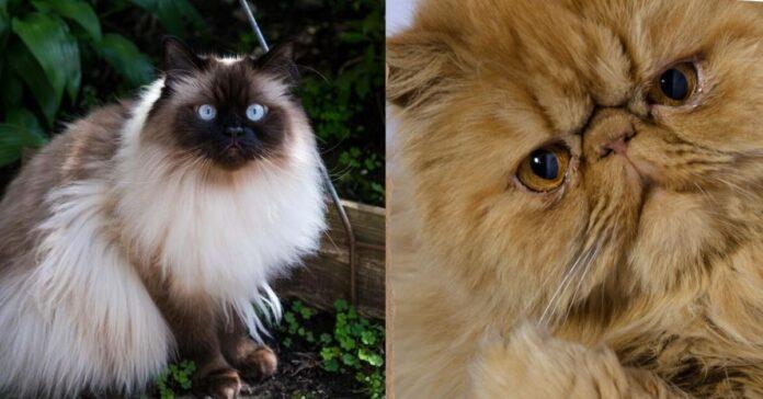 gatto himalayano e gatto persiano