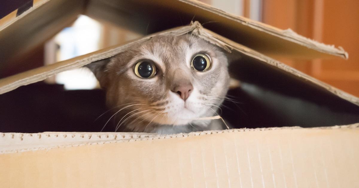 gatto nella scatola di cartone