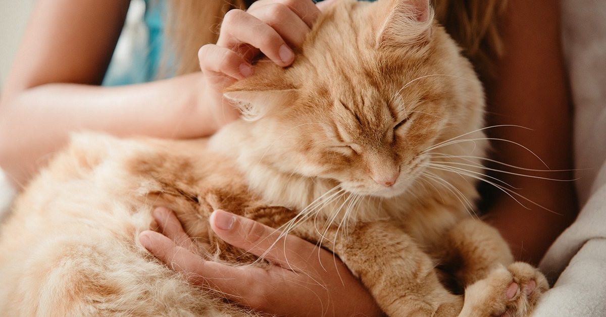 gatto rosso carezze