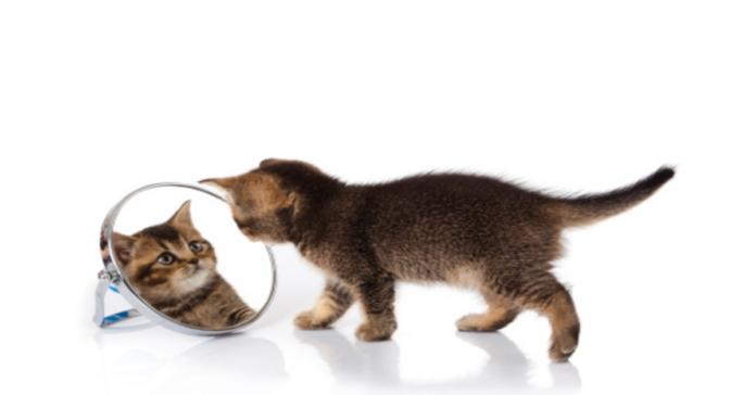 gatto grigio si guarda allo specchio