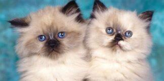 himalayani cuccioli