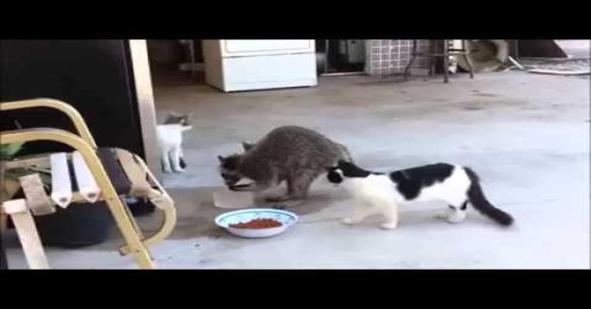 gatti sconvolti quando procione ruba cibo