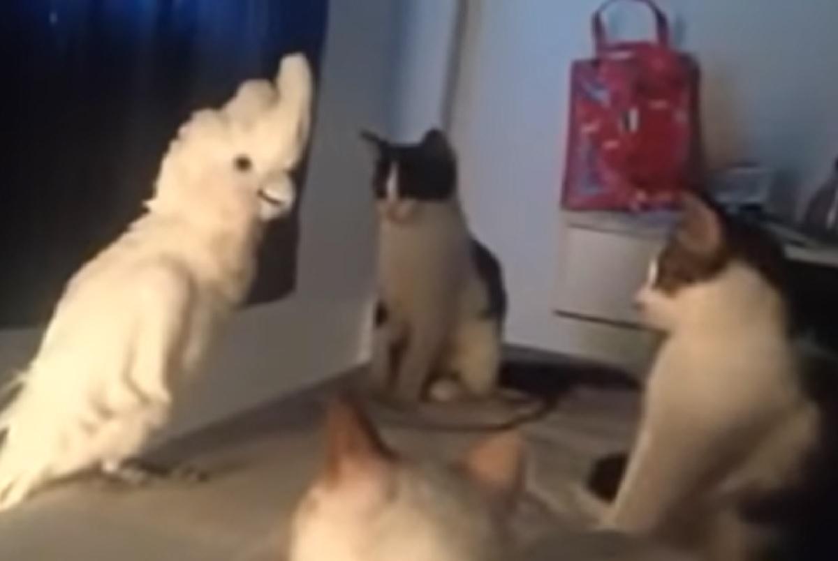pappagallo miagola come gattini