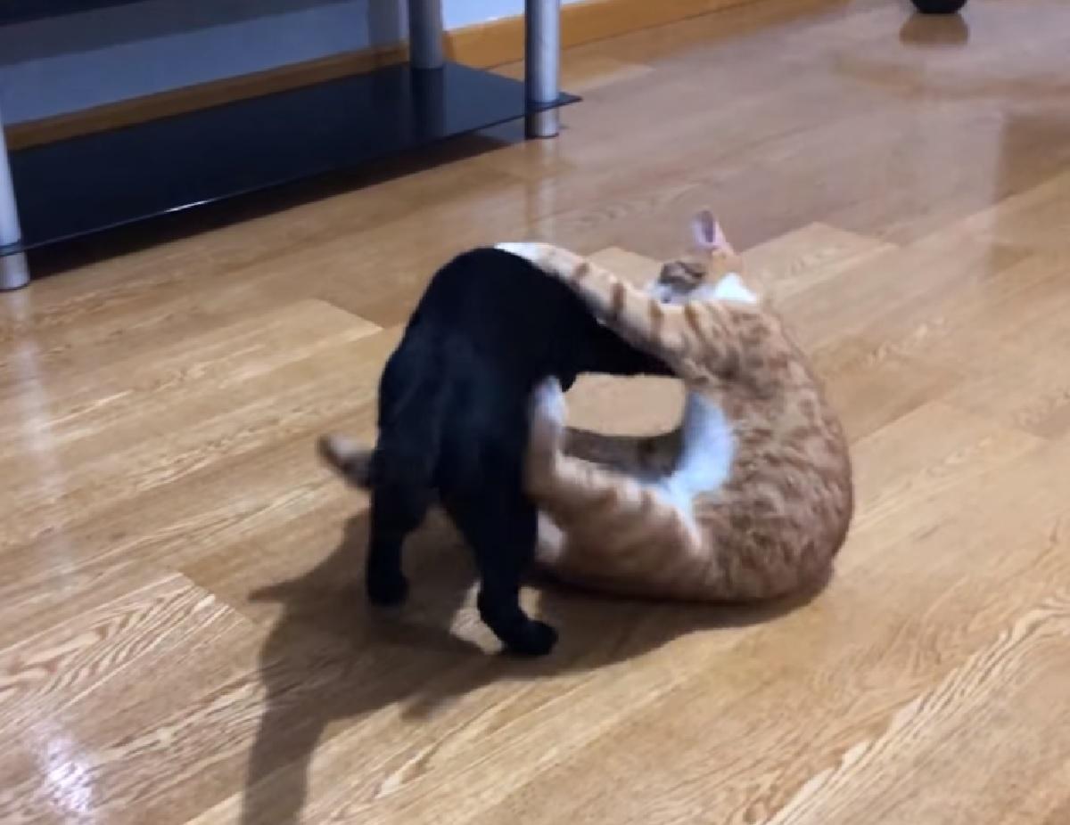 chewie indy gattini wrestling iniziale