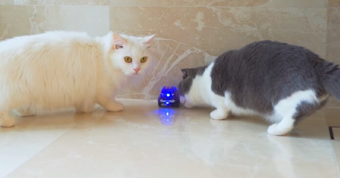 i gattini munchkin giocano con macchina elettrica video notiamo loro sorpresa