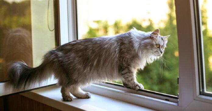 gattino american shorthair non smette di fissare finestra motivo simpatico video