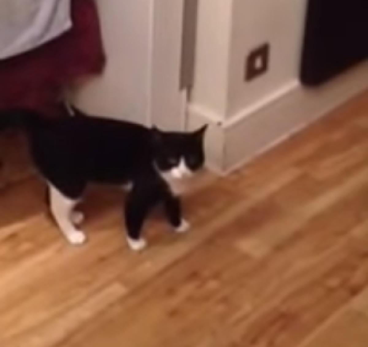 gattino si aggira cucina senza motivo