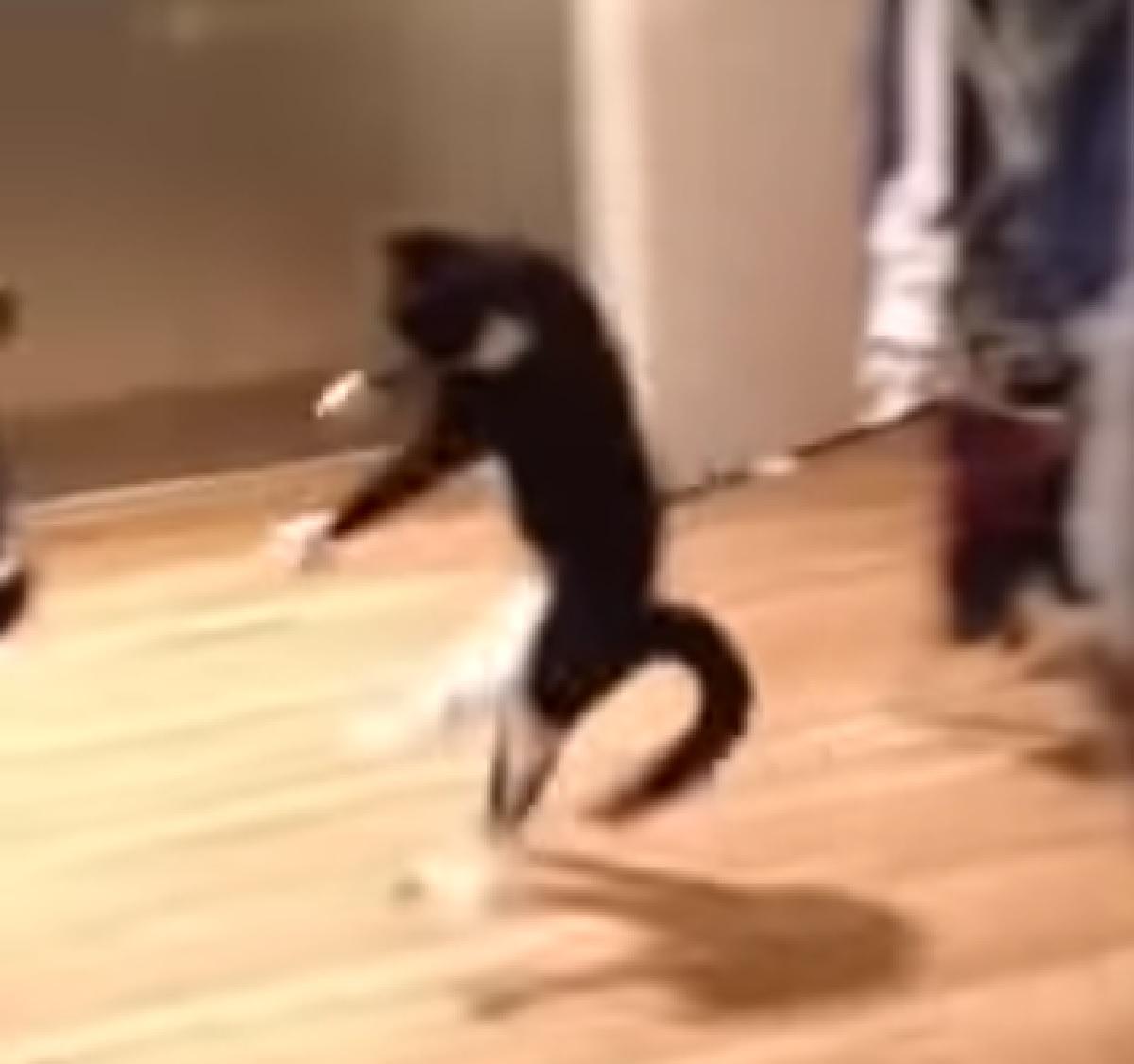 gattino celtico comincia a saltellare