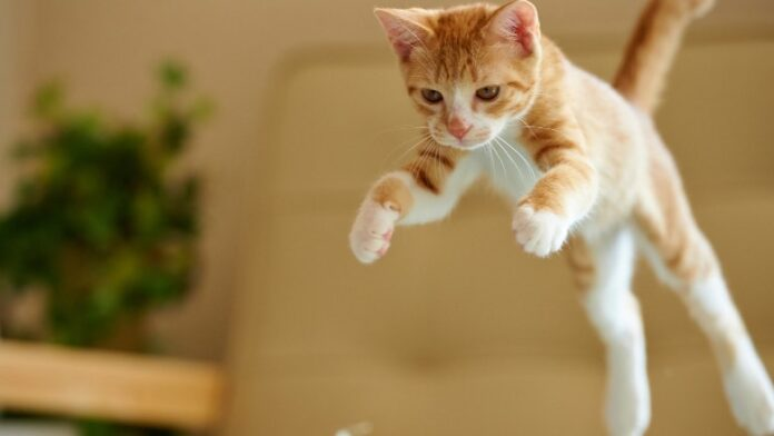 gattino celtico si aggira nella cucina la mamma registra video momento
